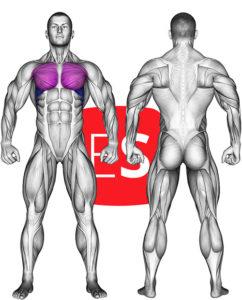 θωρακικοί μύες
